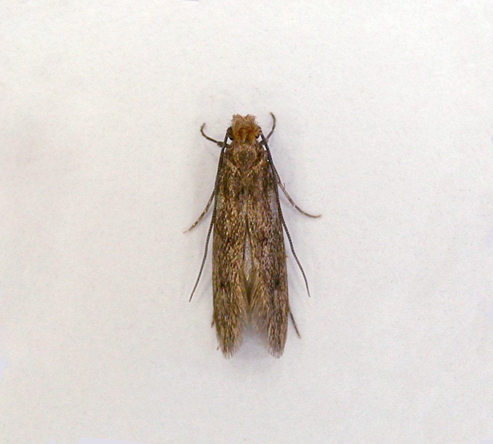 Case-Bearing Moth