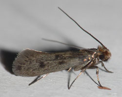 Common Clothes Moth